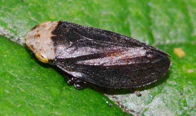 Spittle Bug.Aphrophoridae