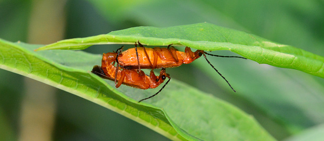 Soldier Beetles Mating!