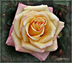 Bonne fin de journée mes Amis ! pour vous cette jolie Rose