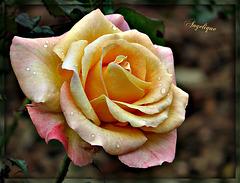 Une Rose pour vous mes ami(e)s et bon Mardi ..