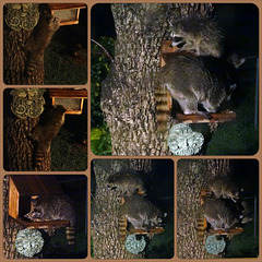 Mama Raccoon and 3 babies Collage