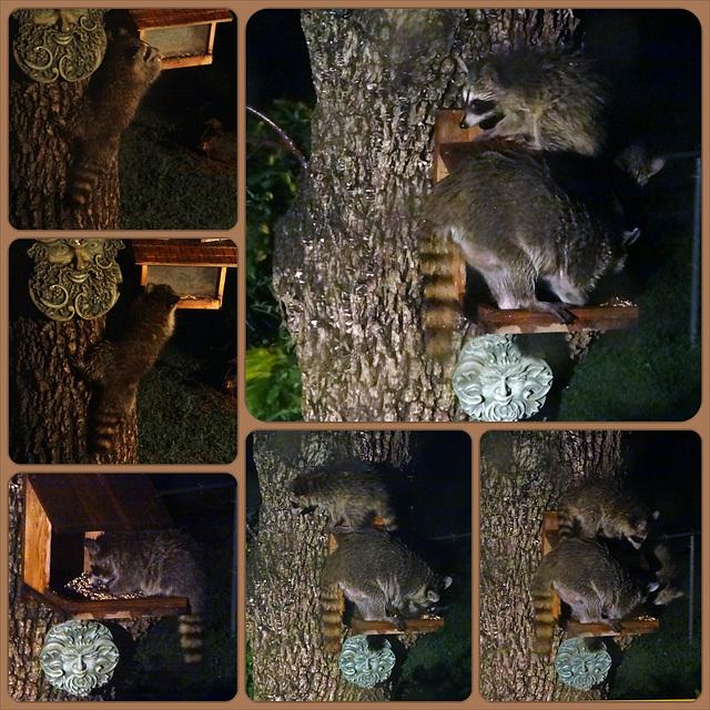 Mama Raccoon and 3 babies Collage