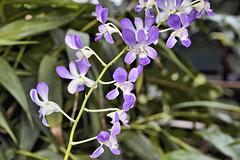 Purple Orchids All in a Row – Botanical Garden, Montréal, Québec
