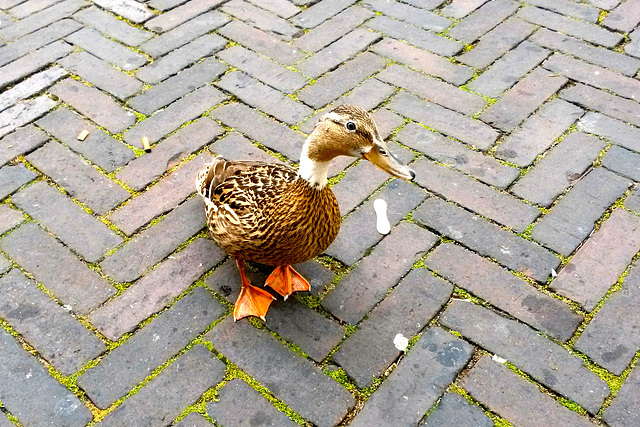 Street Duck