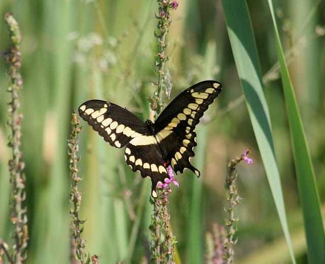grand porte-queue/giant swallowtail
