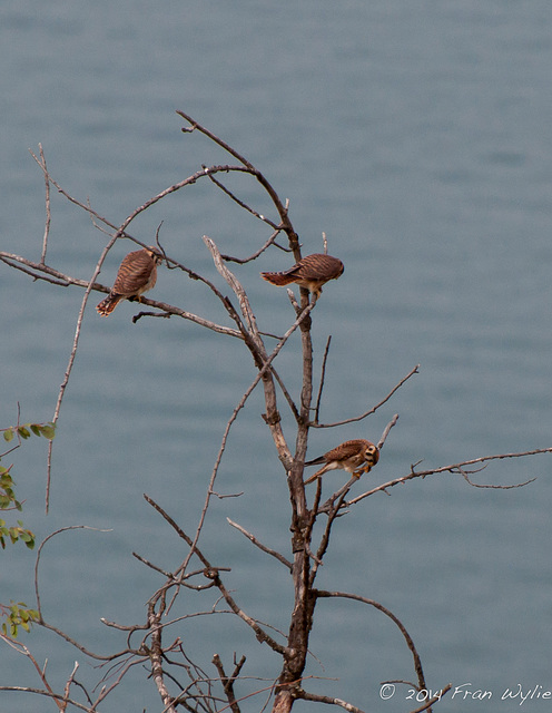 American Kestrels in a tree