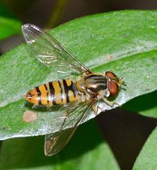 Hoverfly. Episyrphus balteatus