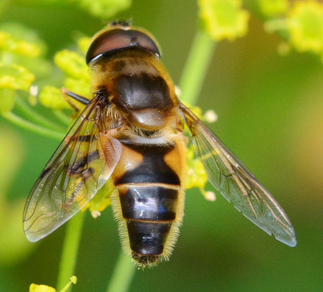 Hoverfly.....any help with ID?
