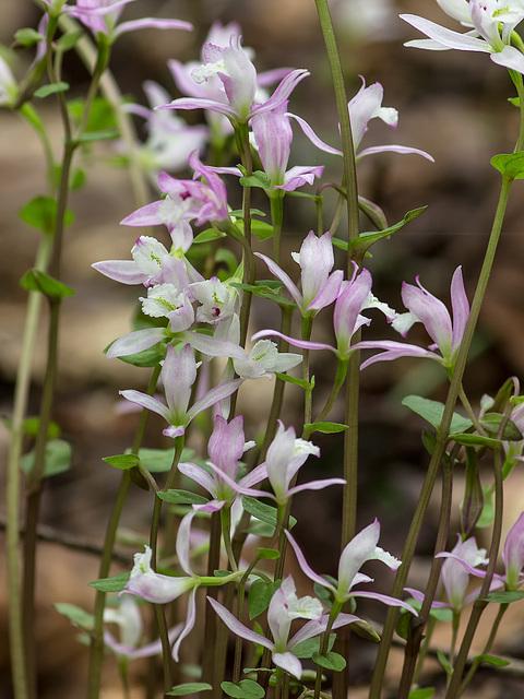 Triphora trianthophora (Three-birds orchid)