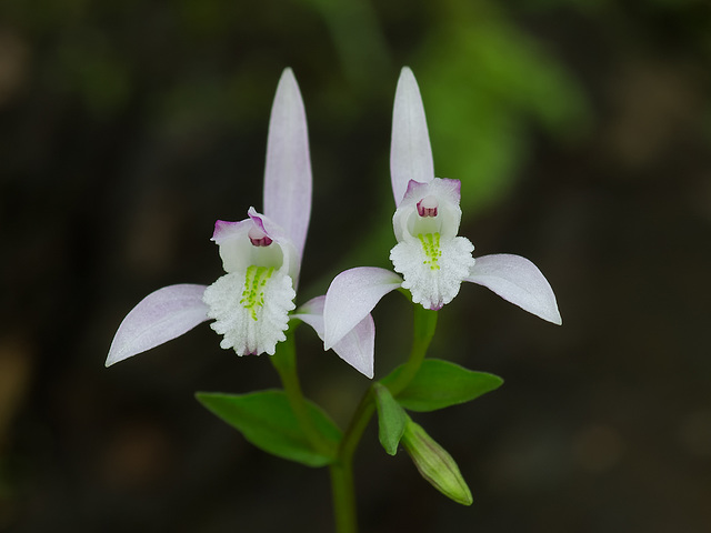 Triphora trianthophora (Three-birds orchid)