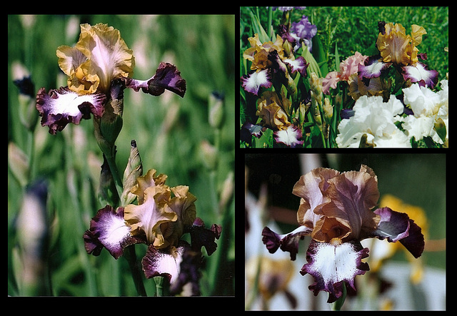 Iris Hinduh Magic-001