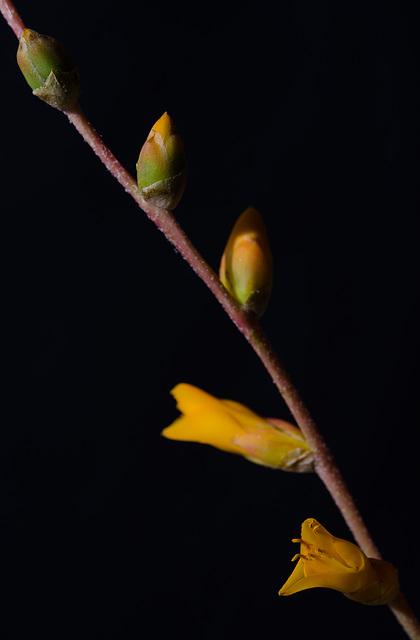 Dyckia remotiflora