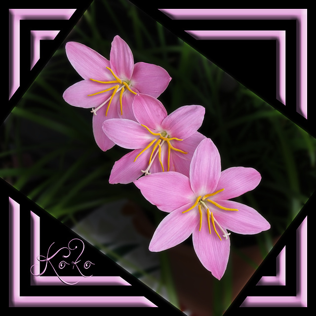 3 fairy lilies for B