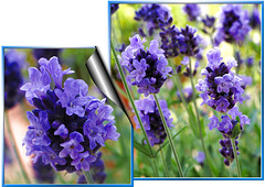 Lavendel with Pic's in Pic...  ©UdoSm