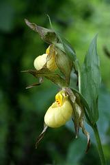 Cypripedium xcolumbianum