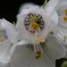 20140614 3567VRMw [D~LIP] Jakobsleiter (Polemonium caeruleum) [Himmelsleiter], Bad Salzuflen