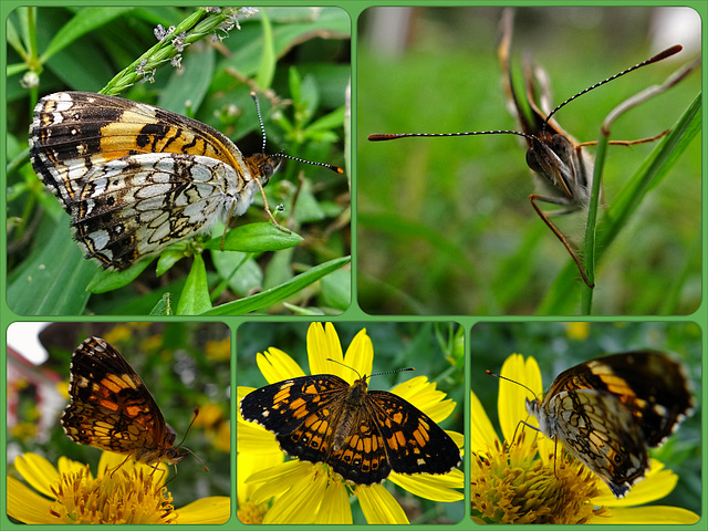 Pearl Crescent butterfly(Phyciodes thares) Collage