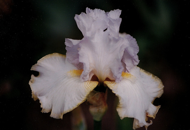 Iris Chartreuse Ruffles