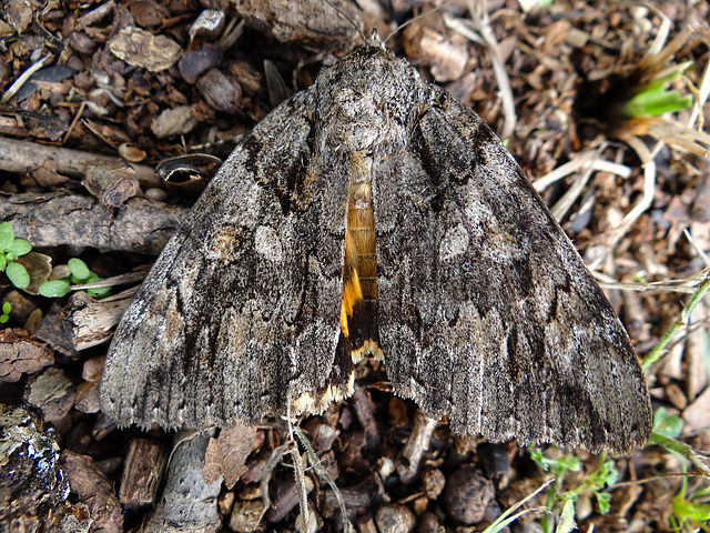 Red Underwing Moth (Catocala Ilia)