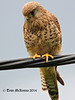 Kestrel  3 016 copy  Explore (Looking for Lunch)