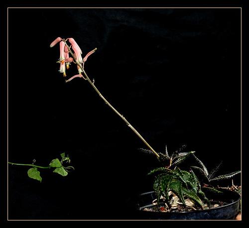 Aloe jucunda (3)