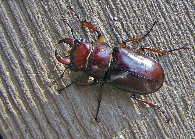 Redish Brown Stag Beetle