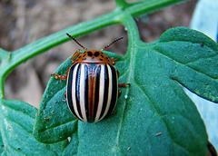 False Potato Beetle