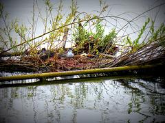 il nido delle folaghe