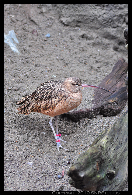 Spotted Curlew at the Seattle Aquarium