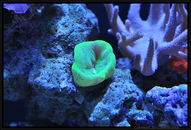 Likely a trumpet or candy cane coral