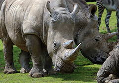 Dame Nature fait parfois des erreurs , c'est rosse pour ce pauvre rhino .