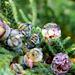 Junge Zypressenfrüchte... ©UdoSm