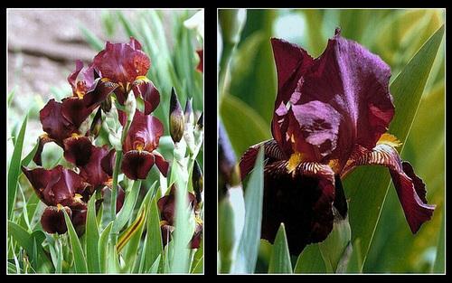 Iris historique à identifier