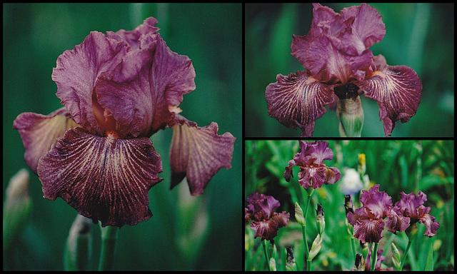 Iris Changing Wind