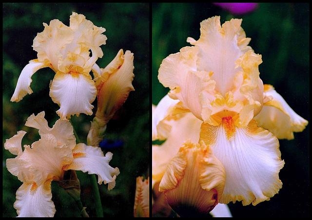 Iris Marie-Flore
