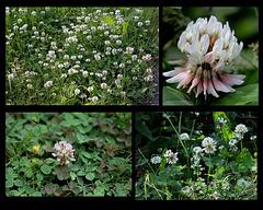 Trifolium repens -Trèfle rampant