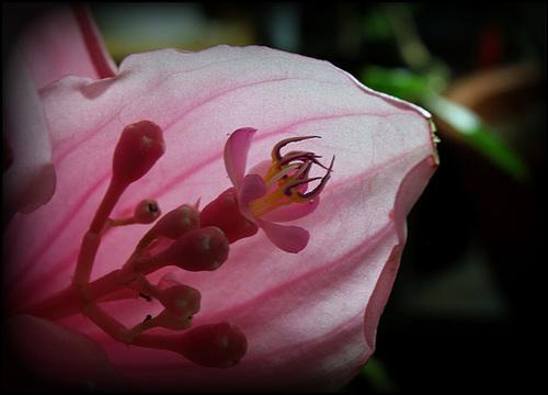Medinilla magnifica