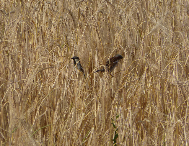 Sparrows in the wheat