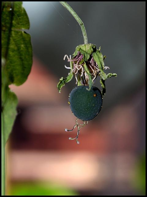 Passiflora 'Sunburst' -fruit