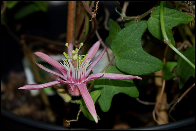 Passiflora sanguinolenta