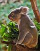 Portrait Koala (Profil)