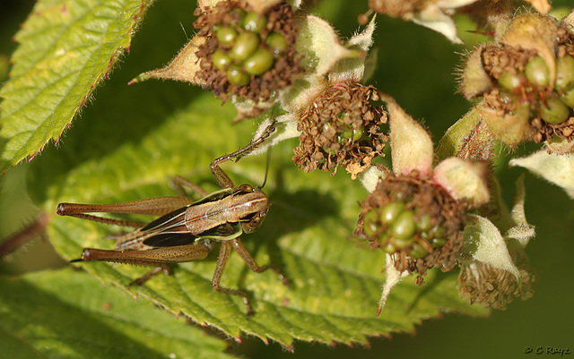 Roesels Bush Cricket Adult
