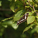 White Admiral Butterfly @ Brede High Woods Limenitis camilla