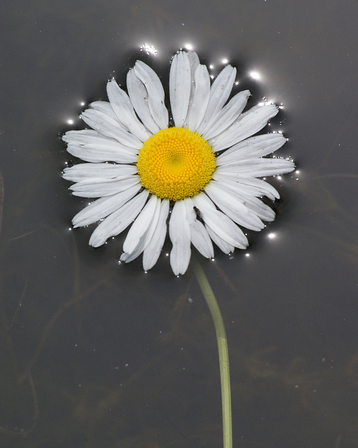 marguerite/ daisy