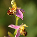 Bee Orchids @ Combe Haven Countryside Park