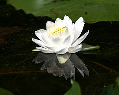nymphéa odorant/common water-lily