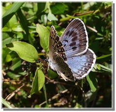 Phengaris (Maculinea) arion