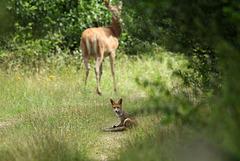Le renard juvénil et la biche
