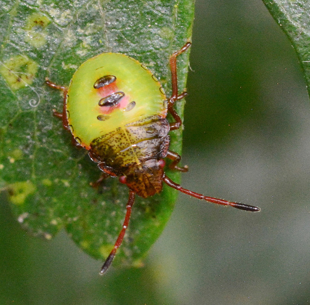 Young Shieldbug