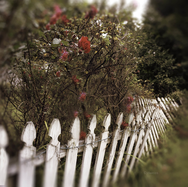 red roses on a crooked fence